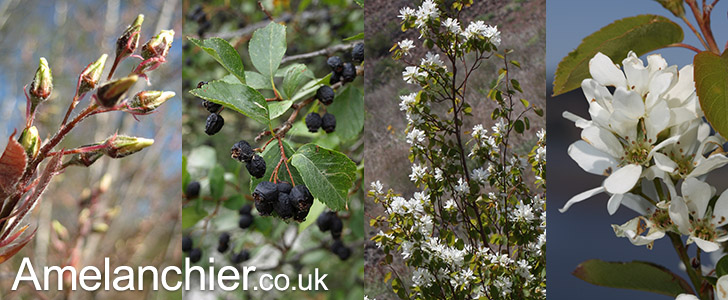 The Amelanchier Directory