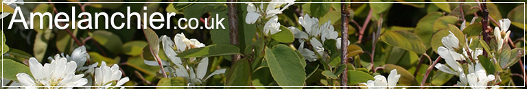 Amelanchier.co.uk